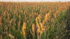 Grain Sorghum Field, Broomcorn, Milo, Landscape and Close-up, Biofuels Stock Footage
