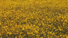 WorldClips-Golden Flowers Stock Footage