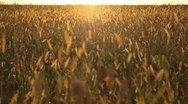 Grain Sorghum Field, Broomcorn, Milo, Landscape and Close-up, Biofuels Stock Footage