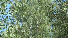 WorldClips-Pinetop Aspens-zoom Stock Footage