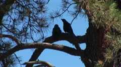 WorldClips-Pinetop Birds in Sihouette Stock Footage