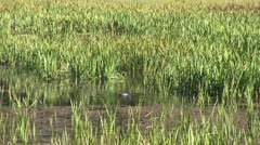 WorldClips-Pinetop Duck Stock Footage