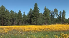 WorldClips-Pinetop Flower Meadow-ws Stock Footage