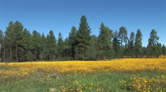 WorldClips-Pinetop Flower Meadow-xws Stock Footage