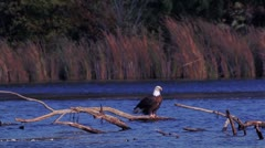 Bald Eagle - stock footage