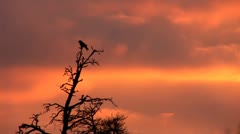 Sunset crow 1 Stock Footage