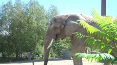 Elephant behind a fern Stock Footage