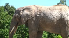 Elephant in front of trees Stock Footage