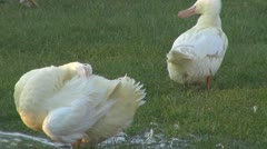 Domestic duck playing in the water Stock Footage