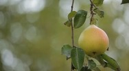 Stock Video Footage of Pear Tree, Pomaceous, Fruits Orchard, Ecological Farmer, Organic Horticulture