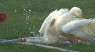 Stock Video Footage of Domestic duck playing in the water