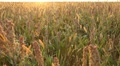 Grain Sorghum Field, Broomcorn, Milo, Landscape and Close-up, Biofuels HD Footage