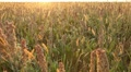 Grain Sorghum Field, Broomcorn, Golden, Sunset, Landscape and Close-up, Biofuels Footage