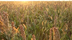 Grain Sorghum Field, Broomcorn, Golden, Sunset, Landscape and Close-up, Biofuels Stock Footage