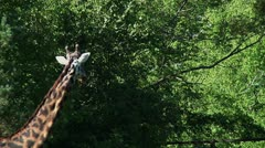 Giraffe neck Stock Footage