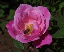 Bee Collecting Pollen from Pink Rose GFSD Stock Footage