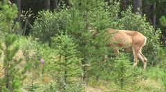WorldClips-Deer into Woods-pan Stock Footage