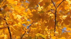 Beautiful Colorful Autumn Falling Foliage Changing Season Forest Golden Trees Stock Footage