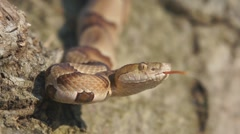 Copperhead Venomous Snake Stock Footage
