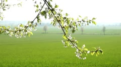 Cherry Blossoms - stock footage