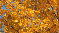 Beautiful Colorful Autumn Foliage, Changing Season, Forest, Trees Stock Footage