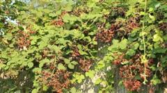 Urban Summer Berries - stock footage