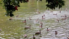 Diving Ducks 3 Stock Footage