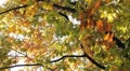 Beautiful Colorful Autumn Foliage, Changing Season, Forest, Trees Footage