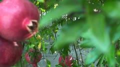 pomegranates - stock footage
