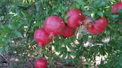 Pomegranates Stock Footage