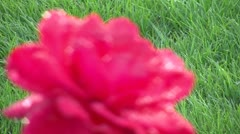Rose focus grass Stock Footage