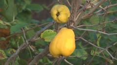Quince. Stock Footage