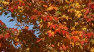 Stock Video Footage of fall leaves leaf autumn foliage