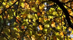 Fall leaves leaf autumn foliage Stock Footage