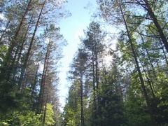 Gravel road in a pine forest. Sun penetrating through branches. Stock Footage