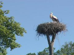 Stork with small storkies in nest on top of cut tree trunk. Stock Footage