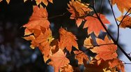 Stock Video Footage of fall leaf leaves autumn foliage