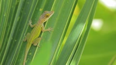 Green lizard on the green leave Stock Footage