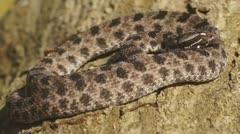 Pygmy Rattlesnake - stock footage