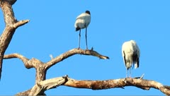 Wood stork (Mycteria americana) in a tree - stock footage