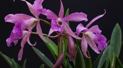 Pink Orchid Time Lapse II - stock footage