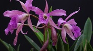 Pink Orchid Time Lapse II Stock Footage