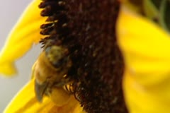 Bee on a sunflower with fat legs Stock Footage