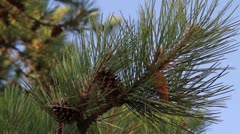 Pine branches and cones - stock footage