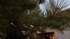 Pine branches (morning) - stock footage