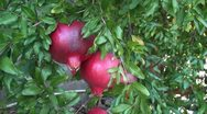 Pomegranates Stock Footage
