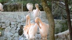 Pelican pink Stock Footage