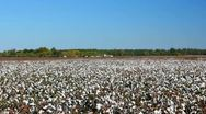 Stock Video Footage of Driving by a cotton field ready for harvest