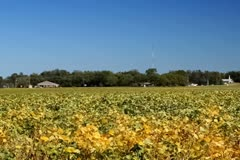 Soybean field in the late fall breeze Stock Footage