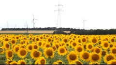 Sunflower field with electricity in the background Stock Footage